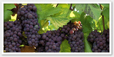 North Carolina Grapes